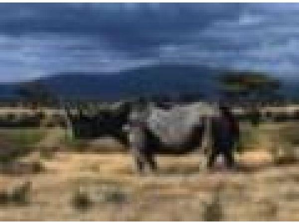 Serengeti Rhino