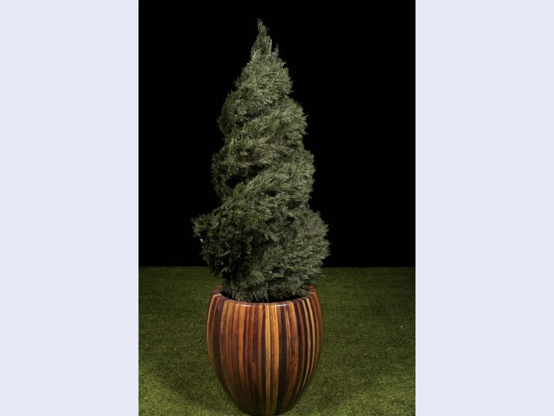 Double Spiral Juniper Topiary
