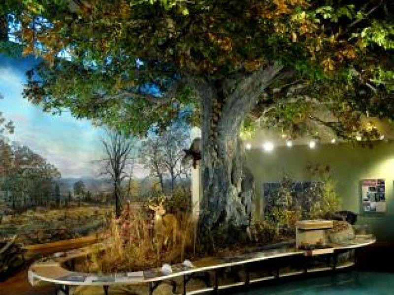 Oak Tree – Museum